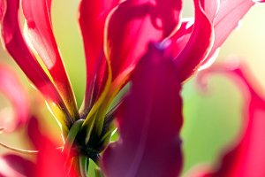 Flame Lily 2