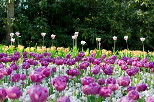A flower bed with purple tulips