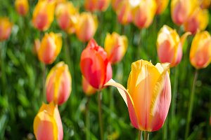 Bicolour red-yellow tulips