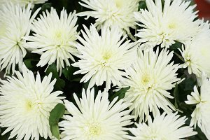 Beautiful white chrysanthemums