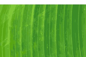 Pattern of green banana leaf backgro