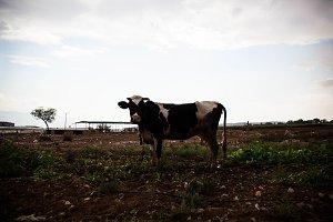 Cow, Jordan Valley.