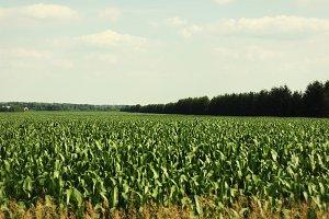 Corn on the drive to Wasaga