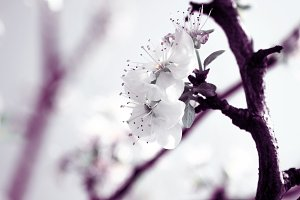 White plum flowers