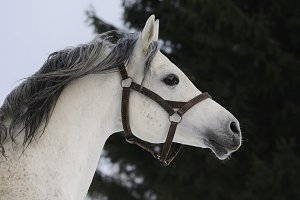 Grey Arabian horse in move