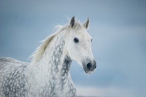 grey dappled horse