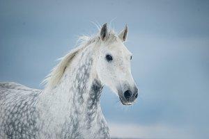 grey dappled horse