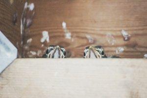 Two Peeps In A Pod Peeking