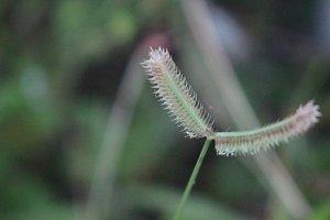Wild Grass Flower