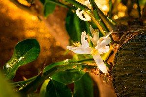 Lemon flower, green lemon