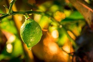 Green lemons, then will be yellow