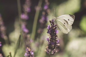 Butterfly on Lavender...