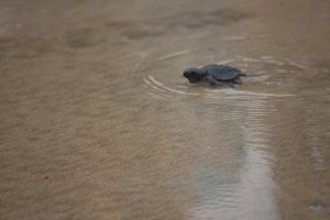 Baby The hawksbill sea turtle