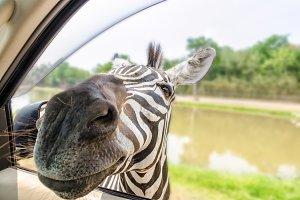 Zebra in the tourists car