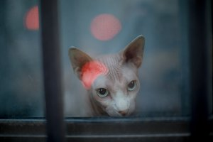 Sphynx cat in the window