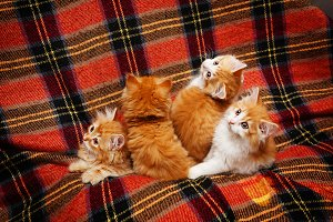 Four kittens hide in folds of plaid