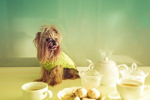 Yorkshire Terrier sitting on table