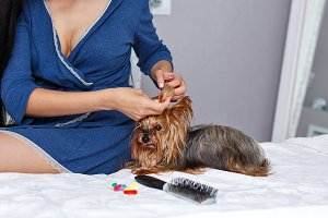 Girl do hairstyle Yorkshire Terrier