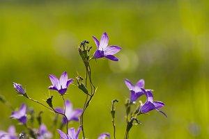 Wildflowers bells