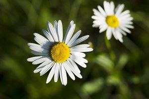 Wildflowers chamomile