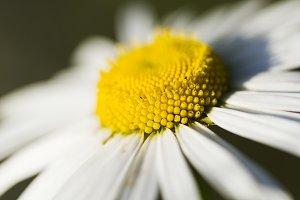 Wildflowers chamomile