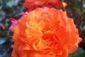 Rose called Krymskij Samotsvit