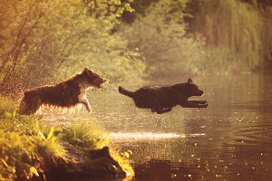 Dogs Jumping Into the Water