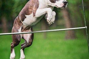 Pit Bull Terrier Jumping