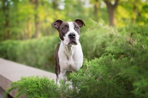 Pit Bull Terrier Sitting