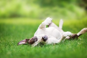 Pit Bull Terrier Lying on Grass