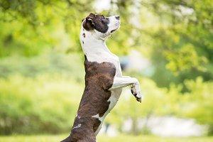 Pit Bull Terrier Dancing