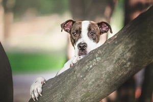 Pit Bull Terrier Hugs a Tree