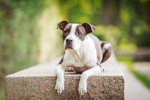 Pit Bull Terrier Lying