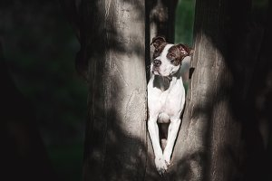 Pit Bull Terrier Portrait