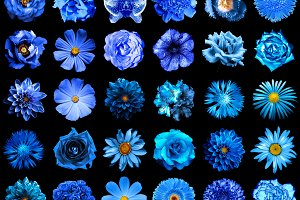 30 blue flowers isolated on black