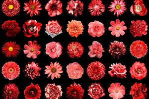 35 red flowers isolated on black