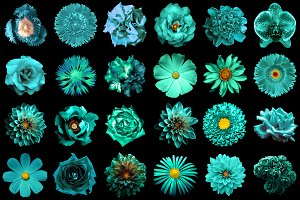 24 turquoise flowers isolated