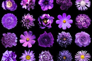 20 violet flowers isolated on black