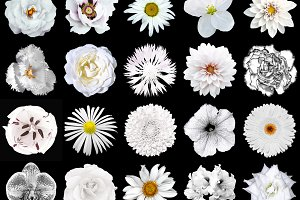 20 white flowers isolated on black