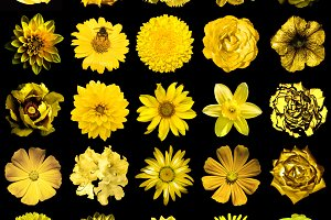 25 yellow flowers isolated on black