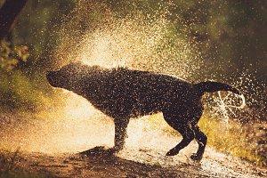 Labrador Retriever Shaking