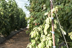 Raspberry plantation in greenhouse