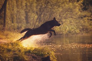 Labrador Retriever Jumping