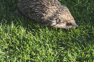Hedgehog on a mountain meadow