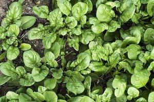 Picking spinach in a home garden