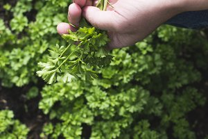 Picking parsley in a home garden