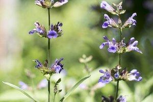 Flowering salvia(sage)