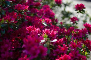 Crimson red rhododendron