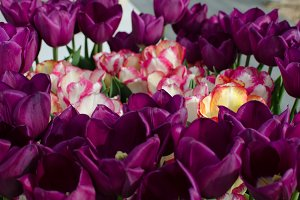 A bouquet of pink and purple tulips