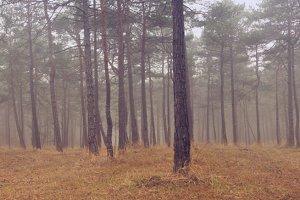pine panorama